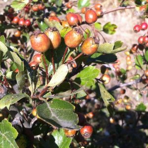 What The Hawthorn Taught Me