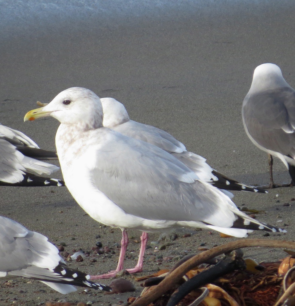 Thayer's Gull. Photo Taken By Kaaren Perry, January 12, 2014.