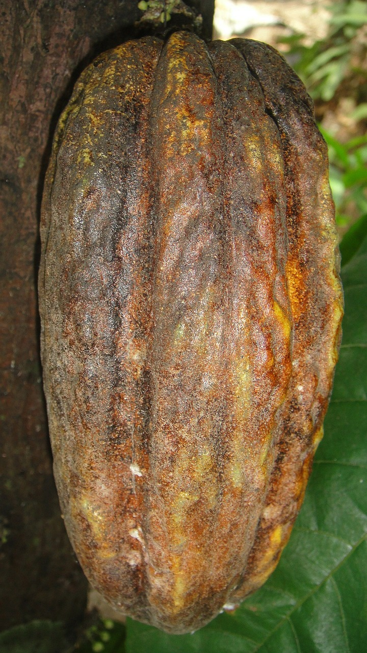 Cocoa Fruit 72862 1280