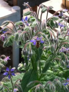 Borage and Bee