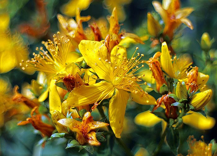 Working Balancing Magic With Saint John's Wort