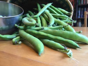 Fresh Fava or Broad Beans