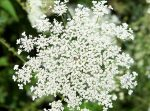 Image of Queen Anne's Lace thanks to Pixabay!
