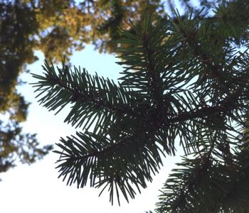Douglas-Fir Magic