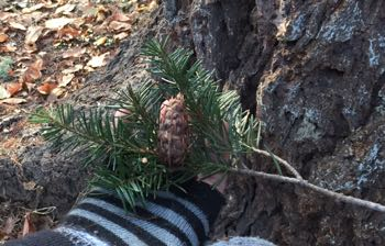 Medicinal Trees: Douglas Fir And Magnolia