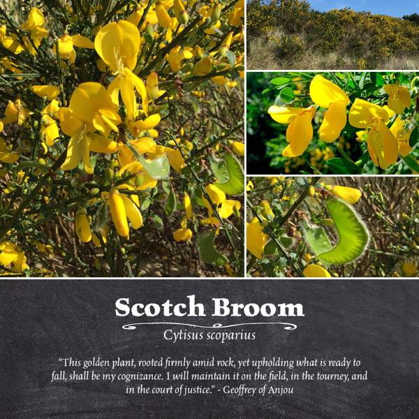 Scotch Broom Magic