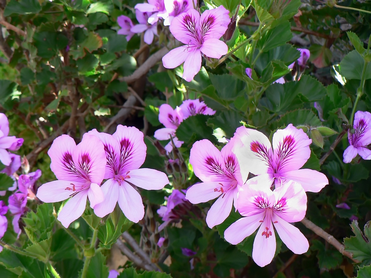 Geranium Rose Essential Oil Properties And Uses