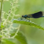 Dragonfly Nettle Thanks To Pixabay