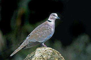Eurasian Collared Dove. This image came from Wiki Commons.