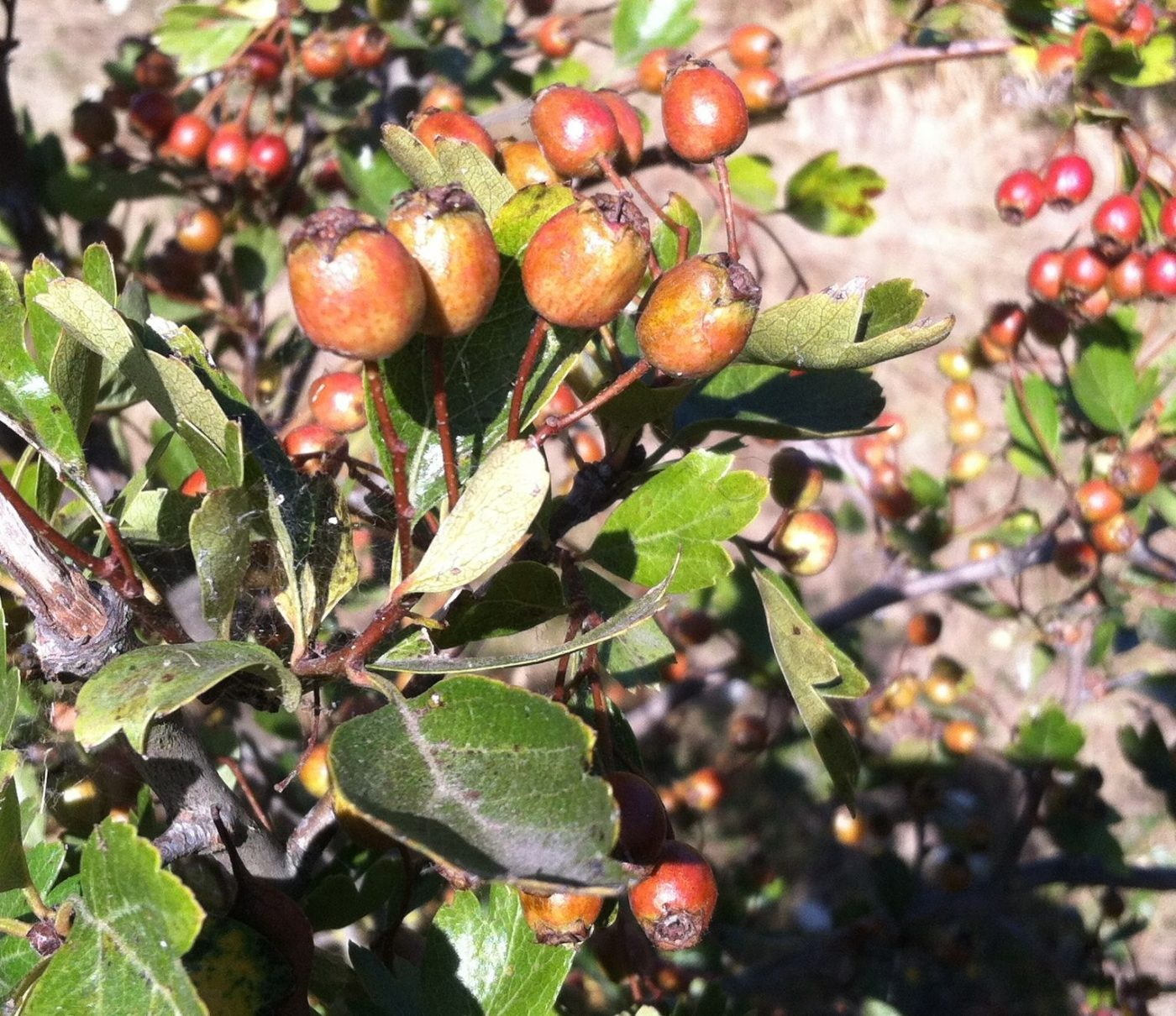 These Haws Are Too Young For Harvest.
