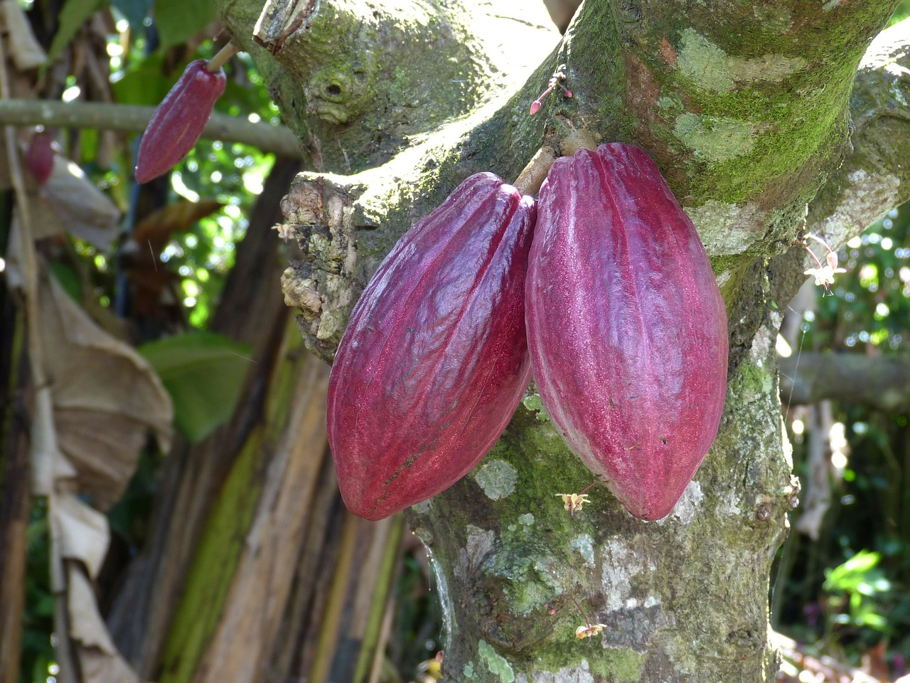 Cacao Magic: The Gift Of The Gods, Infused