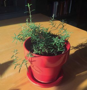 Pot of Rosemary