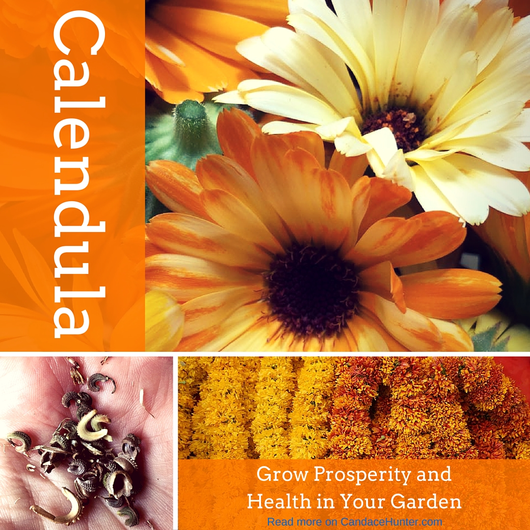 Calendula Magic: A Light In The Dark