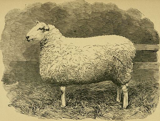 Sheep, Breeds And Management (1893) (14779551134)