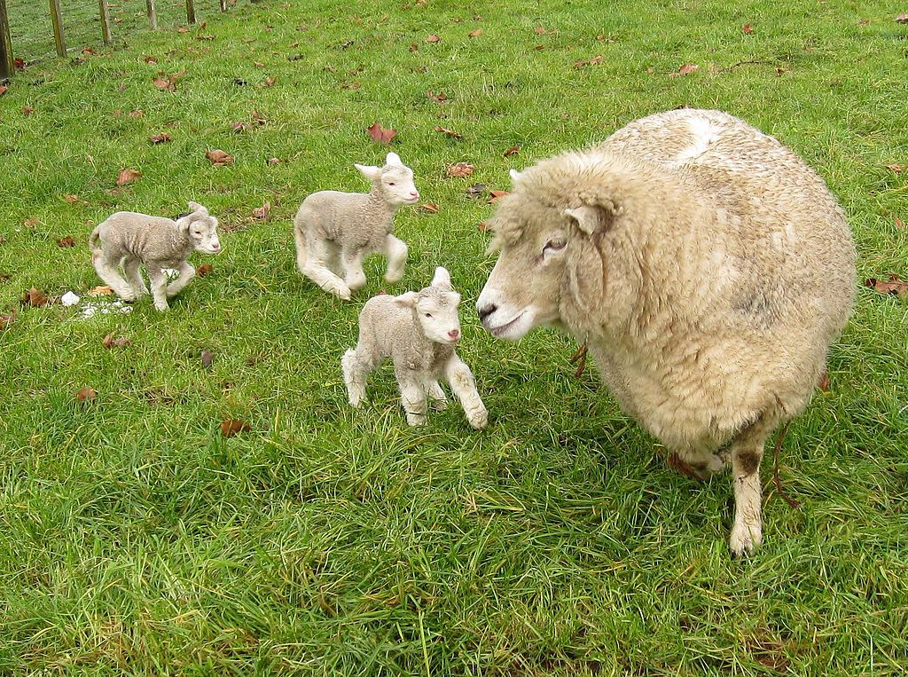 Romney Ewe With Lambs From Wikipedial Commons