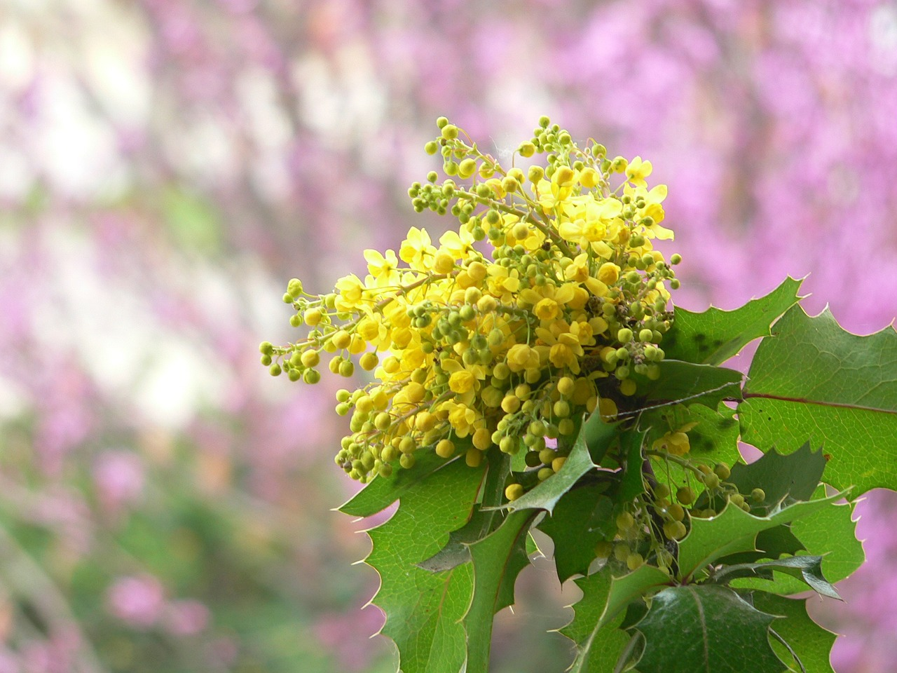 Oregon Grape Flower And Leaf